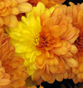 yellow-orange-mum-flower