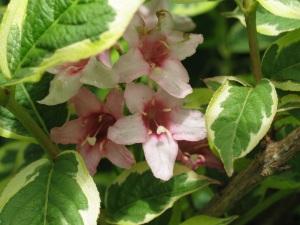 wygilia several flowers