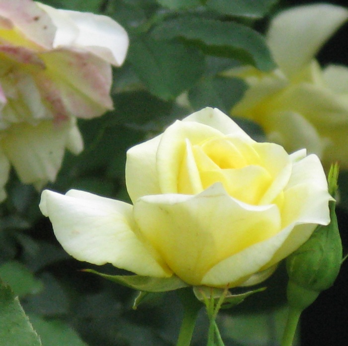 pale yellow single rose