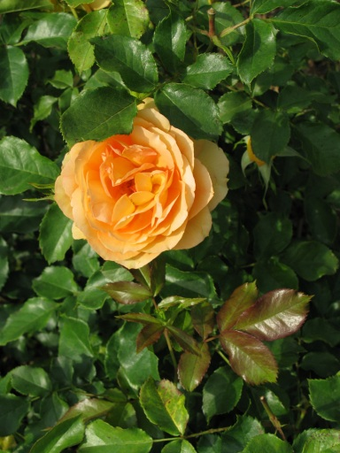 peachy orange rose 6 2 10