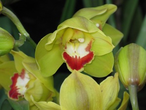 nybg orchid 12