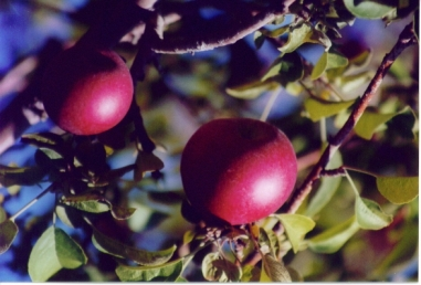 more apple pickin pics