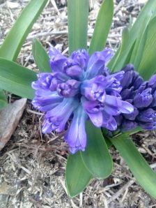 hyacinth blooms
